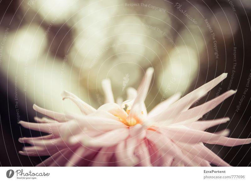Dahlia Himmel Natur schön Pflanze Sommer Blume Blatt dunkel Umwelt Frühling natürlich Garten Hintergrundbild rosa Park leuchten
