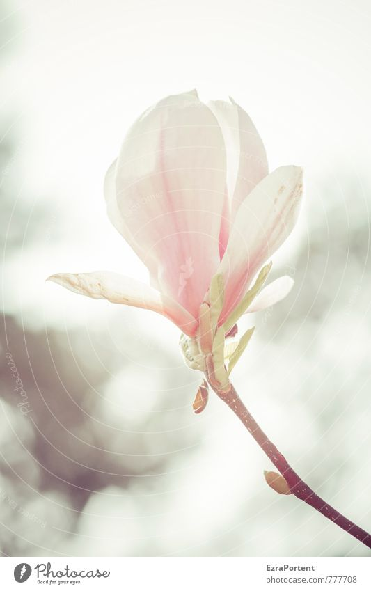 Magnolia Himmel Natur schön Pflanze weiß Sommer Sonne Blume Umwelt Wärme Frühling Blüte natürlich Garten rosa Park