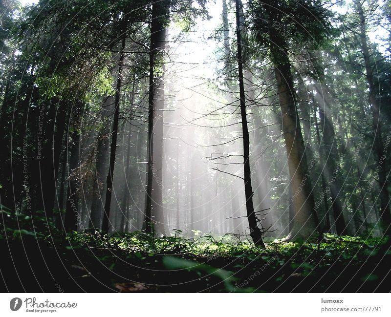 foggy sunshine Farbfoto Außenaufnahme Menschenleer Tag Licht Lichterscheinung Sonnenlicht Sonnenstrahlen Froschperspektive Natur Luft Nebel Pflanze Baum Moos