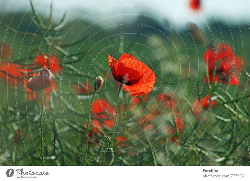 Hallo Sommer! Umwelt Natur Landschaft Pflanze Schönes Wetter Blume Blüte Feld frisch nah grün rot Mohn Mohnblüte Mohnfeld Raps Rapsfeld Farbfoto mehrfarbig
