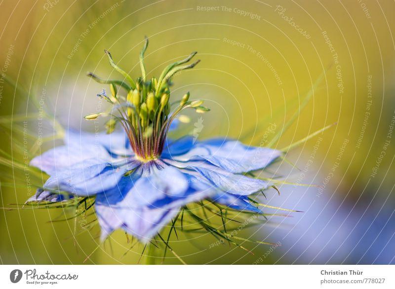 Volle Blüte Umwelt Natur Sommer Schönes Wetter Pflanze Blume Garten Park Wiese Blühend Duft Erholung ästhetisch außergewöhnlich blau braun gelb grün Stimmung