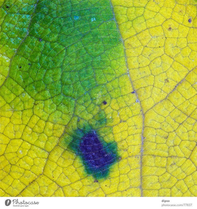 Naturfarben grün blau Blatt gelb Farbe Herbst Ahorn