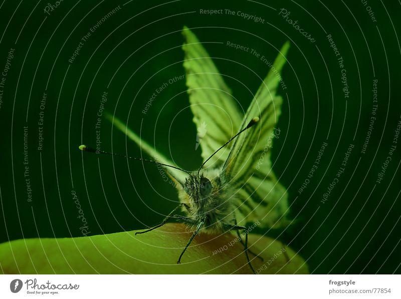 schmetterlinge Finger Natur Tier Frühling Wildtier Schmetterling Tiergesicht Flügel 2 Tierpaar beobachten berühren entdecken fangen krabbeln Blick ästhetisch