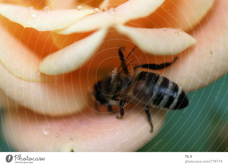 Biene Natur Pflanze Frühling Sommer Blüte Wildtier Blühend Duft ästhetisch elegant Frühlingsgefühle Regen Tropfen Farbfoto Außenaufnahme Makroaufnahme