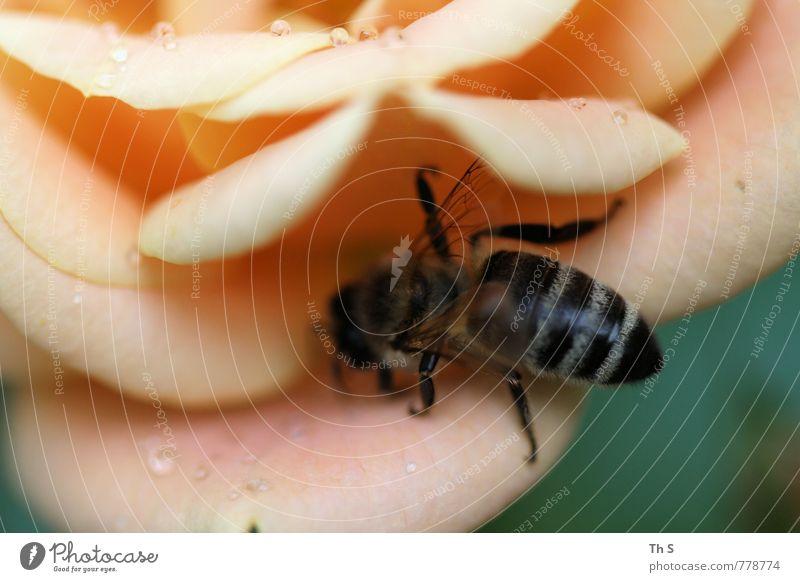 Biene Natur Pflanze Sommer Frühling Blüte Regen elegant Wildtier ästhetisch Blühend Tropfen Duft Biene Frühlingsgefühle