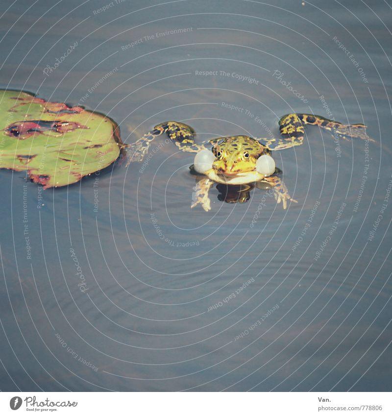 Quak Natur Tier Wasser Sommer Pflanze Blatt Seerosen Garten Teich Wildtier Frosch 1 nass grün Quaken Farbfoto Gedeckte Farben Außenaufnahme Menschenleer