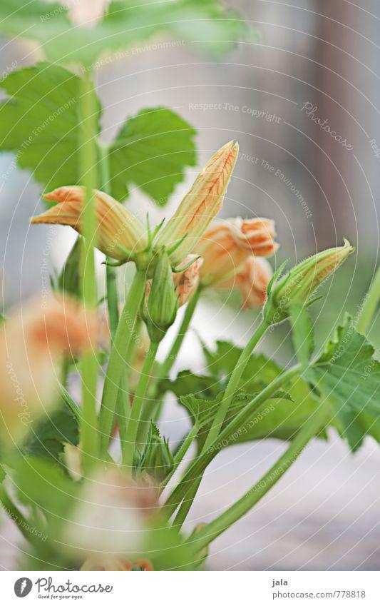 zucchini Pflanze Blatt Blüte natürlich Gesundheit Garten frisch ästhetisch gut nachhaltig Nutzpflanze Topfpflanze Zucchini Zucchiniblüte