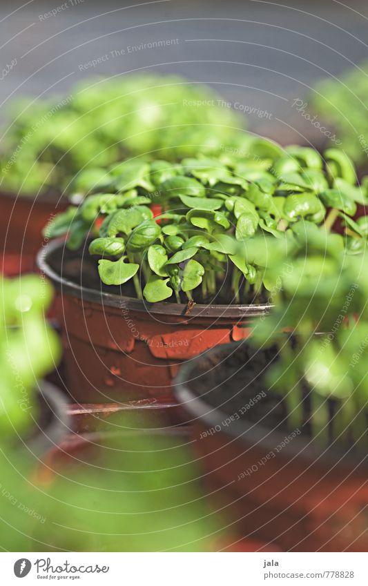 anzucht Pflanze Grünpflanze Nutzpflanze Topfpflanze Anzucht Jungpflanze frisch gut klein nachhaltig grün Farbfoto Außenaufnahme Menschenleer Tag