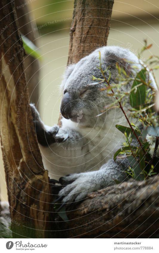 Koala müde Natur Tier Sommer Baum Gras Sträucher Blatt Grünpflanze Wildpflanze exotisch Garten Wildtier Tiergesicht Zoo 1 Holz genießen hängen schlafen träumen