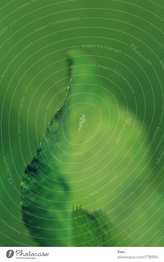Klee Natur Pflanze Frühling Blatt klein grün Farbfoto Gedeckte Farben Außenaufnahme Detailaufnahme Makroaufnahme Menschenleer Tag Schwache Tiefenschärfe