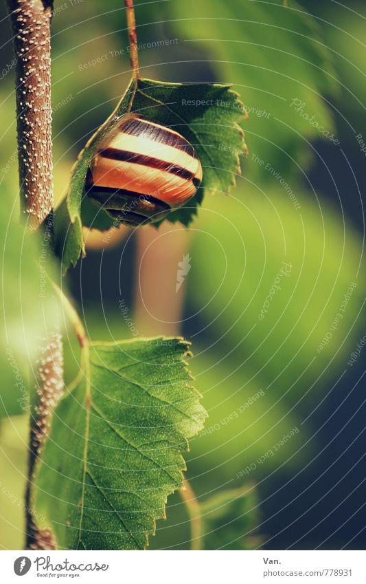 Baumhaus Natur Tier Frühling Pflanze Blatt Birke Zweig Schnecke 1 hängen klein schön braun grün Farbfoto mehrfarbig Außenaufnahme Nahaufnahme Detailaufnahme