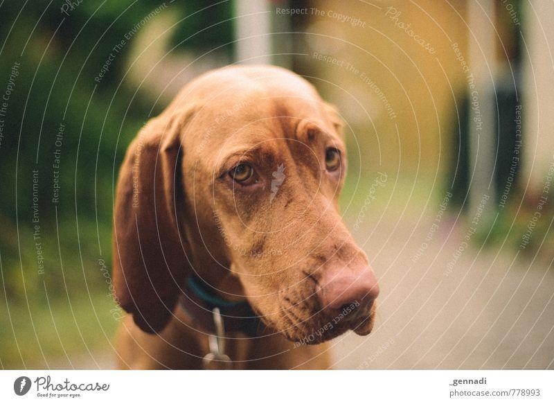 Hund Haustier 1 Tier schön betteln Hundeblick Ohr Hängeohr Schnauze Auge Farbfoto Menschenleer Textfreiraum rechts Tag Tierporträt Blick in die Kamera