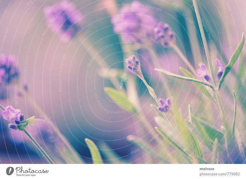 Gartenkultur Natur blau grün Pflanze Sommer Erholung Blatt Blüte träumen Wachstum Blühend berühren violett Duft harmonisch