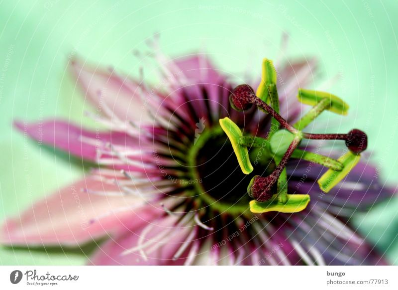Prächtig Kelchblatt harmonisch perfekt schön prächtig Pastellton fantastisch ästhetisch beeindruckend schillernd Blüte Blume Pflanze Botanik Umwelt Pollen