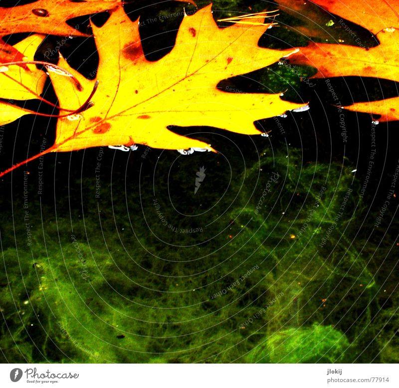 Mit Verlaub Wasser grün Blatt gelb Herbst orange Vergänglichkeit blasen Ekel Schifffahrt Schweben fließen Gefäße Algen Zacken Eiche