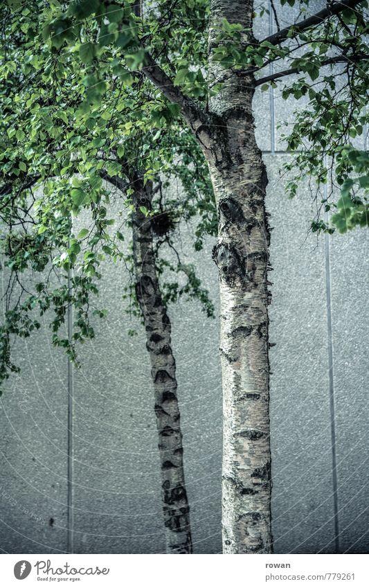 stadtgrün Baum Blatt Baumstamm Birke Birkenblätter Beton Wand Stadt Betonwand Farbfoto Außenaufnahme Tag