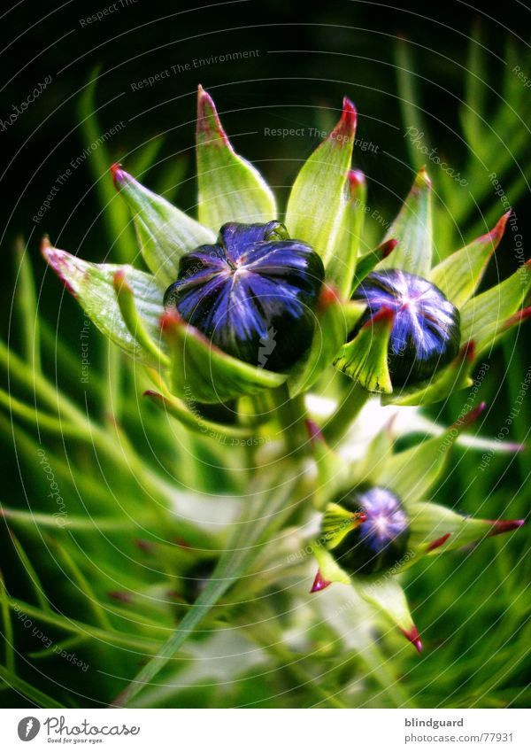 Aufbruchstimmung aufgehen zart zerbrechlich mehrfarbig blau violett aufgebrochen sensibel schön Blüte grün Sommer Pflanze poetisch geheimnisvoll seltsam Anmut