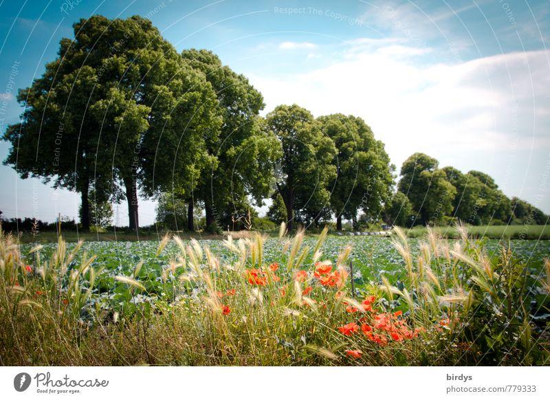 Sommer in der Republik Natur Landschaft Pflanze Himmel Schönes Wetter Getreide Mohn Ähren Laubbaum Feld Feldrand Blühend Duft ästhetisch Freundlichkeit