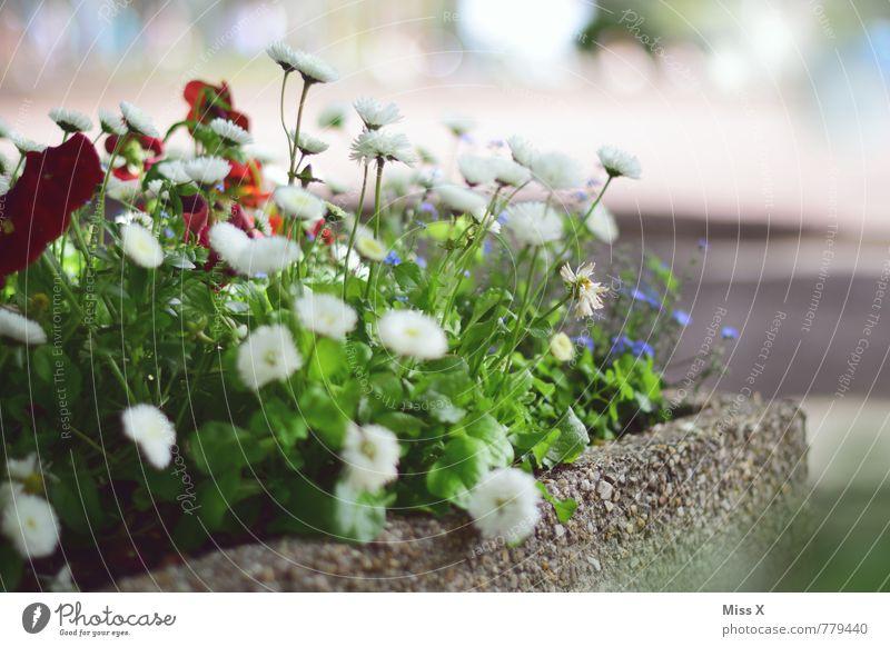 Bunter Mix Garten Frühling Sommer Blume Blüte Topfpflanze Blühend Duft Wachstum Gänseblümchen Balkonpflanze Blumenkasten Frühlingstag Pflanze Beet Farbfoto