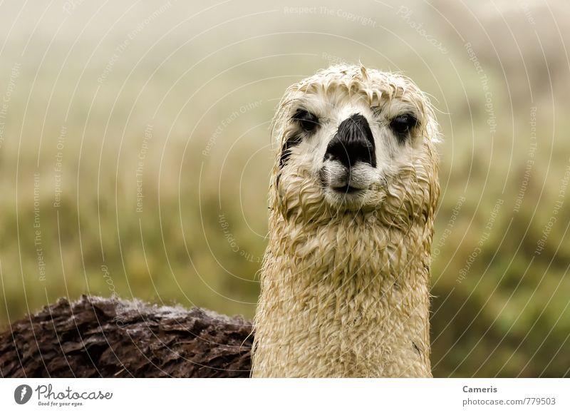 Alpaka Nebel Berge u. Gebirge Tier Nutztier Tiergesicht 1 Ferien & Urlaub & Reisen Freundlichkeit lustig Neugier niedlich schwarz weiß Gelassenheit Umwelt