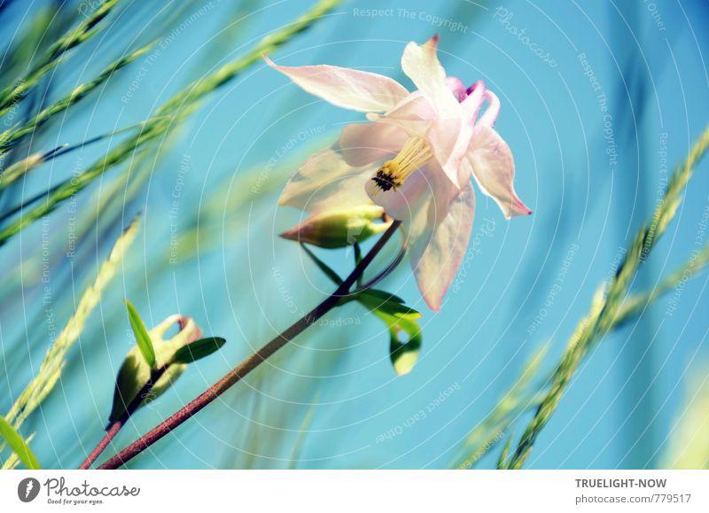 Akelei (Aquilegia vulgaris) Natur blau schön grün weiß Pflanze Sommer Blume Erotik Wiese feminin Gras Blüte natürlich hell Garten