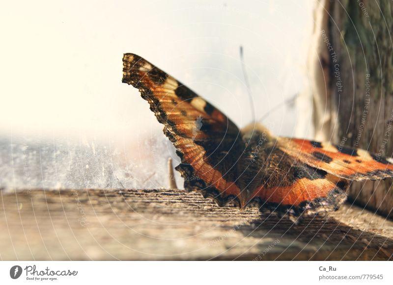 Kleiner Fuchs alt schön Tier schwarz Fenster klein Holz Denken braun fliegen träumen Behaarung orange sitzen Wildtier warten