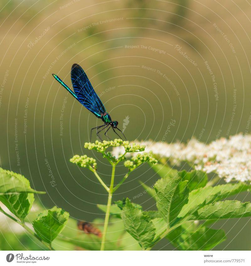 Prächtig Natur blau Tier ästhetisch Insekt Libelle Blauflügel-Prachtlibelle