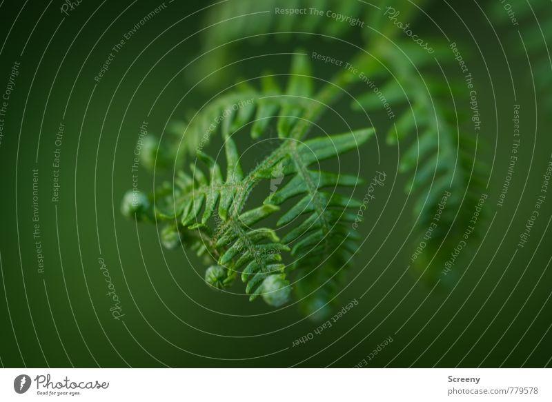 Jungfarn Umwelt Natur Pflanze Frühling Sommer Wildpflanze Echte Farne Wald Eifel wild grün Wachstum Farbfoto Detailaufnahme Makroaufnahme Menschenleer Tag