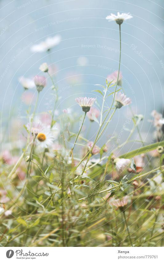 verwirrend Umwelt Natur Pflanze Sommer Blume Wildpflanze Garten Park Wiese Blühend grün weiß durcheinander Gänseblümchen Außenaufnahme Menschenleer