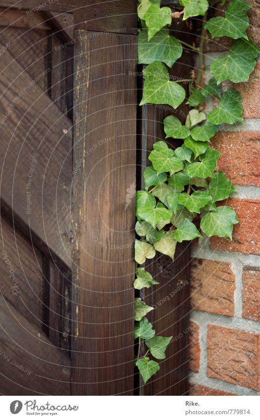 Vereint. Natur Pflanze Frühling Sommer Efeu Blatt Grünpflanze Wildpflanze Garten Mauer Wand Fassade Tür Holz Wachstum ästhetisch natürlich grün Zusammensein