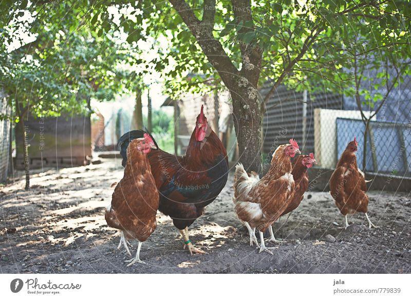 hühnerleben Natur Pflanze Baum Tier Umwelt natürlich Garten Tiergruppe Nutztier Hahn Hühnervögel Tierfamilie Hühnerstall