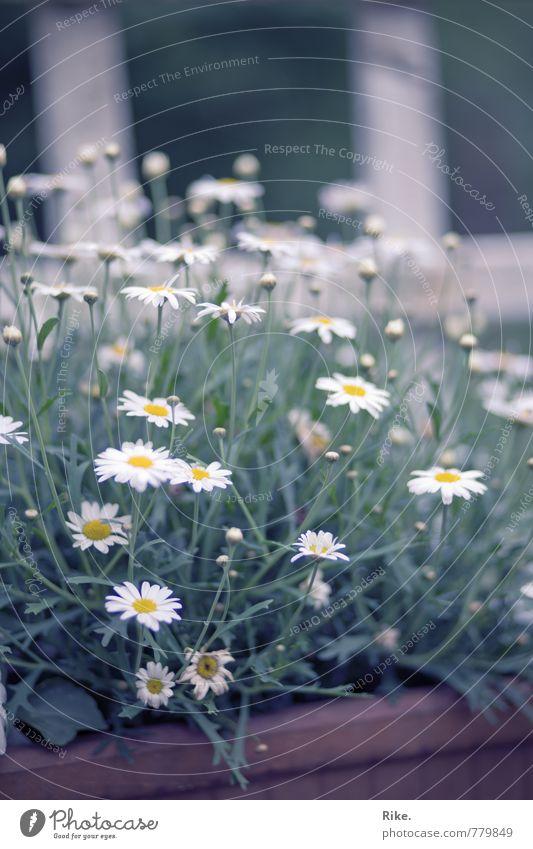 Weiße Blüten. Umwelt Natur Pflanze Frühling Sommer Baum Grünpflanze Margerite Garten Blühend Wachstum Fröhlichkeit schön natürlich weiß Glück Vergänglichkeit