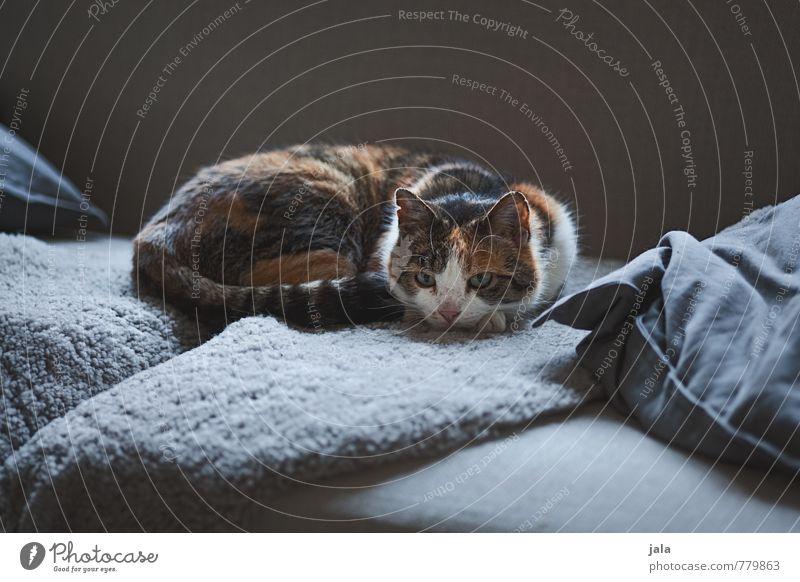 sofatiger Katze Erholung Tier natürlich liegen Wohnung Häusliches Leben ästhetisch Sofa Haustier Wohnzimmer Kissen