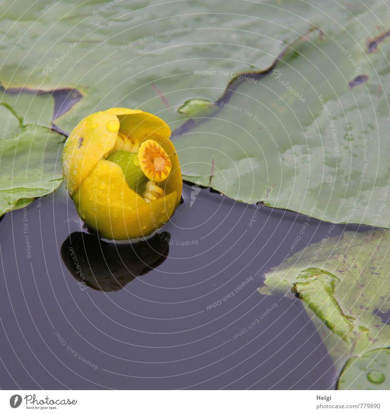 Teichmummel... Umwelt Natur Pflanze Sommer Regen Blume Blatt Seerosen Seerosenteich Wasserpflanze Blühend Schwimmen & Baden Wachstum ästhetisch schön nass