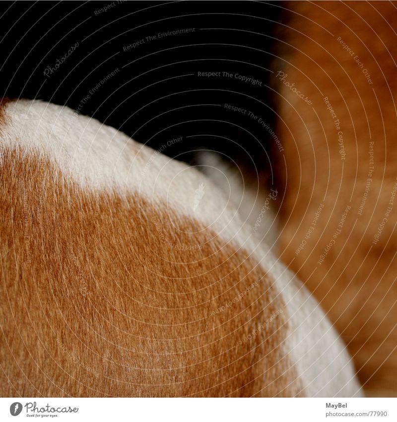 Beagle ² Hund Fell braun weiß schwarz Quadrat Detailaufnahme Haare & Frisuren dog hair friend black brown white Anschnitt