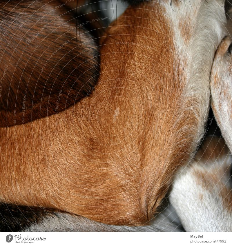 Noch ein Stück Beagle bitte! Hund Fell braun weiß schwarz Pfote Schnurrhaar Quadrat Detailaufnahme Haare & Frisuren Ohr Beine Fuß dog hair friend black brown