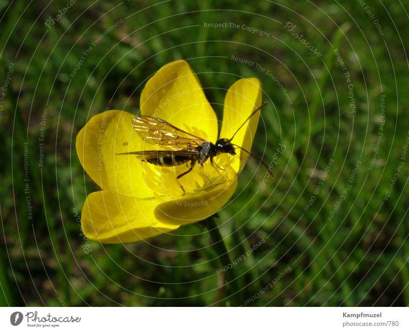 insektenmittagspause Blume gelb Wiese Insekt