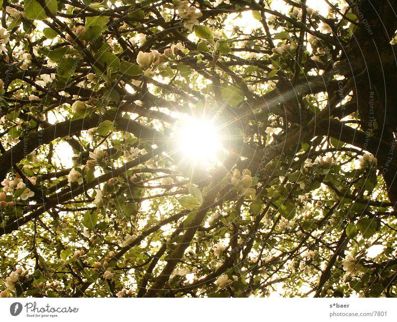 Sonnestrahlen durch einen Apfelbaum Sonnenstrahlen Lichtreflektion