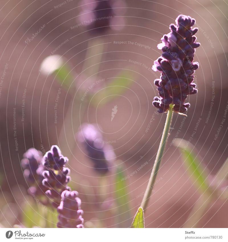 Morgenduft der Lavendelblüte Lavendelduft blühender Lavendel Duft Lichtstimmung schönes Licht Juni Juli Lichtschein lichtvoll Romantik Morgenlicht