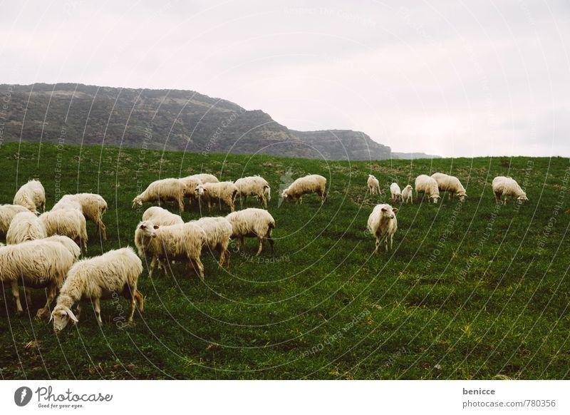 Schafe Natur Tier Winter Wiese Herbst Gras Europa Italien Weide Schaf Wolle Herde Sardinien Schafherde