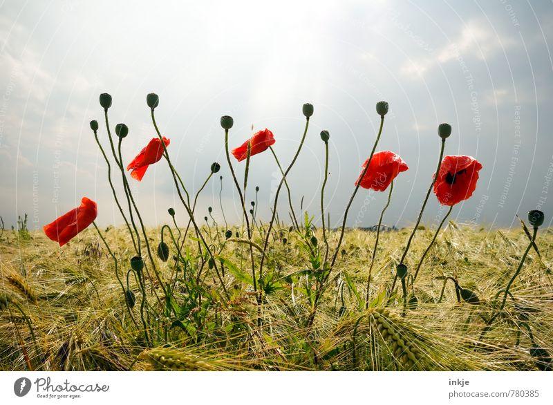Mohn Landwirtschaft Forstwirtschaft Umwelt Natur Landschaft Pflanze Himmel Horizont Frühling Sommer Schönes Wetter Blume Blüte Nutzpflanze Wildpflanze