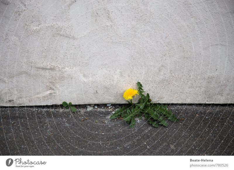bodenständig | das ist der Löwenzahn grün Pflanze weiß Einsamkeit gelb Gesunde Ernährung Wand Mauer Stein Wachstum Kraft authentisch Armut einfach Blühend