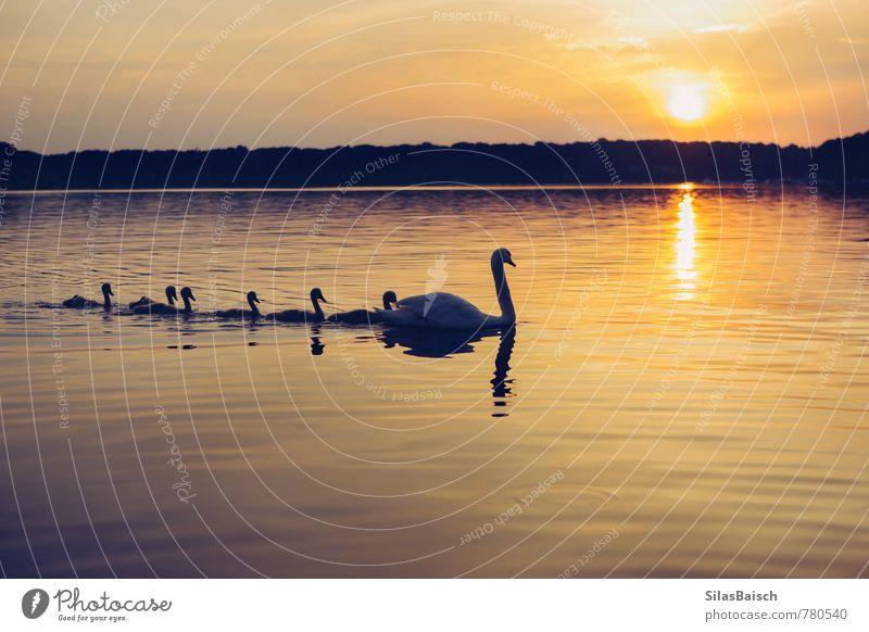 Schwanensee Natur schön Wasser Sonne Tier Ferne Tierjunges Schwimmen & Baden Freiheit Glück See Familie & Verwandtschaft Zufriedenheit authentisch Ausflug Flügel