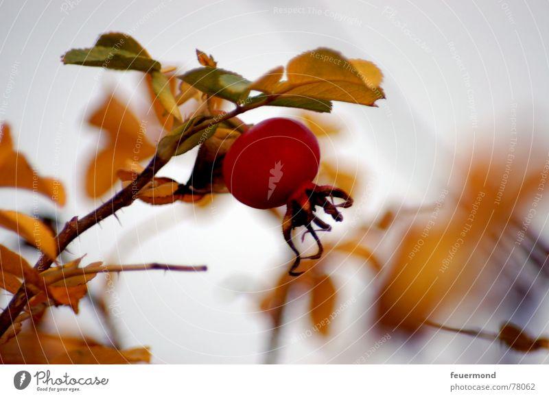 Juckpulver rot Pflanze Blatt dunkel kalt Herbst Garten Wetter Frucht Rose Samen Ekel schlechtes Wetter Dorn Hundsrose ungemütlich