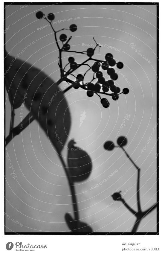 o. T. Pflanze Blatt Herbst Blüte grau Holunderbusch