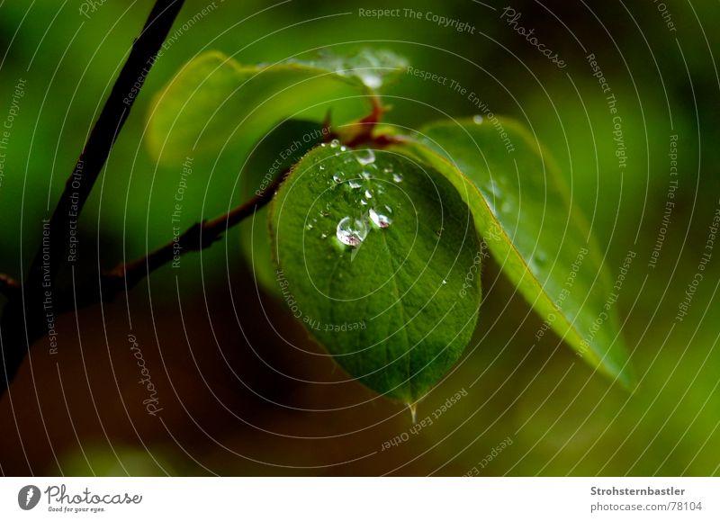Regen? Blume nass grün Blattgrün hellgrün Wasser Wassertropfen