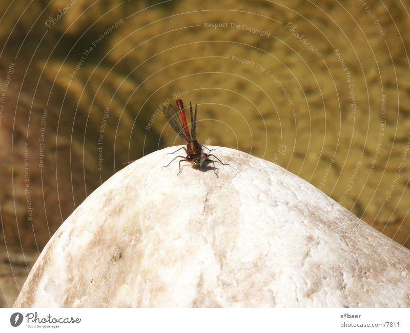 Libelle auf Stein Teich Insekt