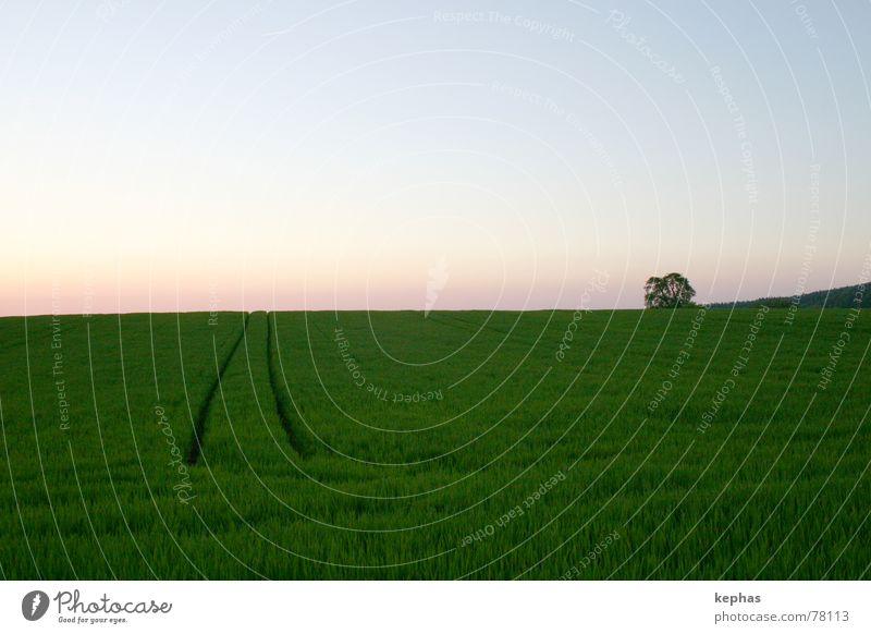 Einsamer Baum im Felde Himmel grün Einsamkeit Ferne Landschaft Horizont Getreide Schönes Wetter Abenddämmerung