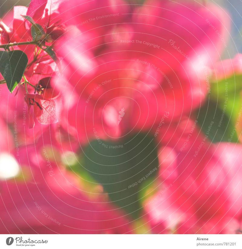 Blütenschwemme Farbe Pflanze Sommer Blüte Garten rosa Wachstum Sträucher Blühend viele exotisch Willensstärke üppig (Wuchs) überschüssig Hemmungslosigkeit Bougainvillea
