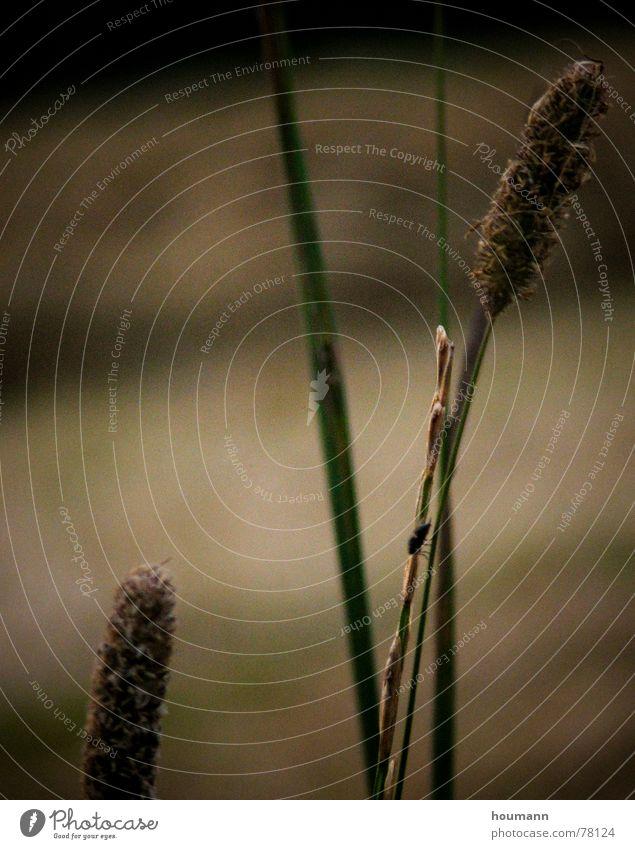 Grass Sonnenuntergang hellbraun Sommer grün Makroaufnahme Nahaufnahme schwaches licht dim light light brown nicht scharf sundown sharp unsharp